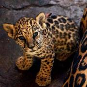 (text me directly at: 3852001409) tiger,  cheetahs and jaguar cubs now
